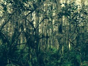 Spanish moss, South Florida.